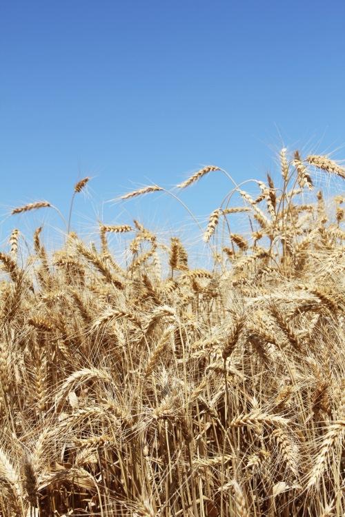 wheat lr