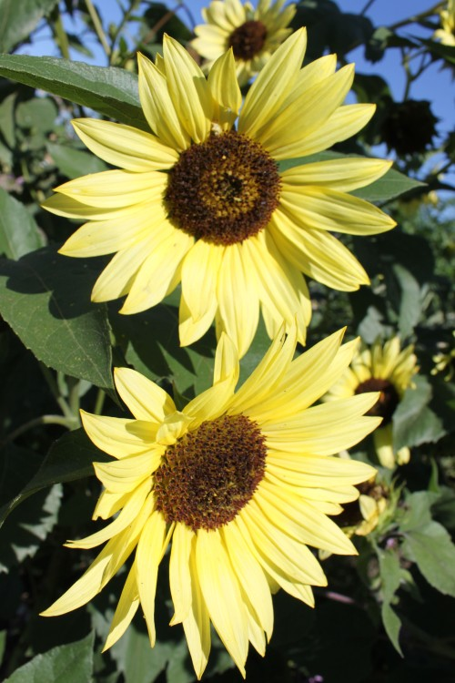 pale yellow sunflowers