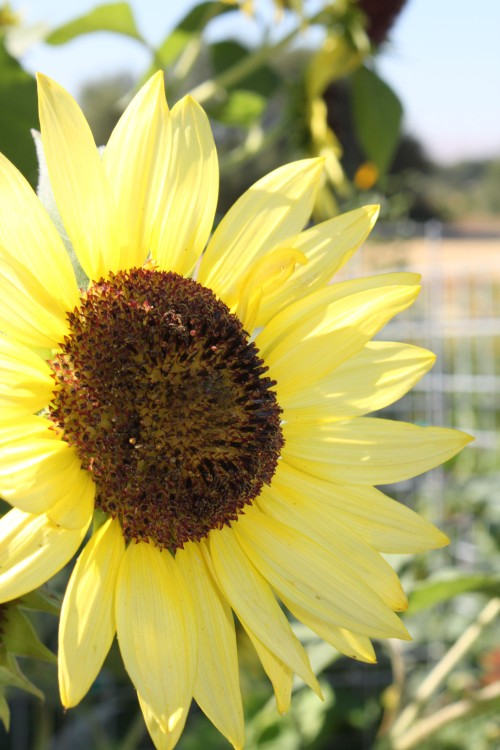 sunflower_yellow