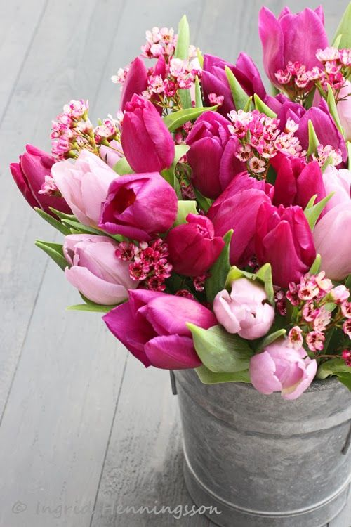 tulips pink