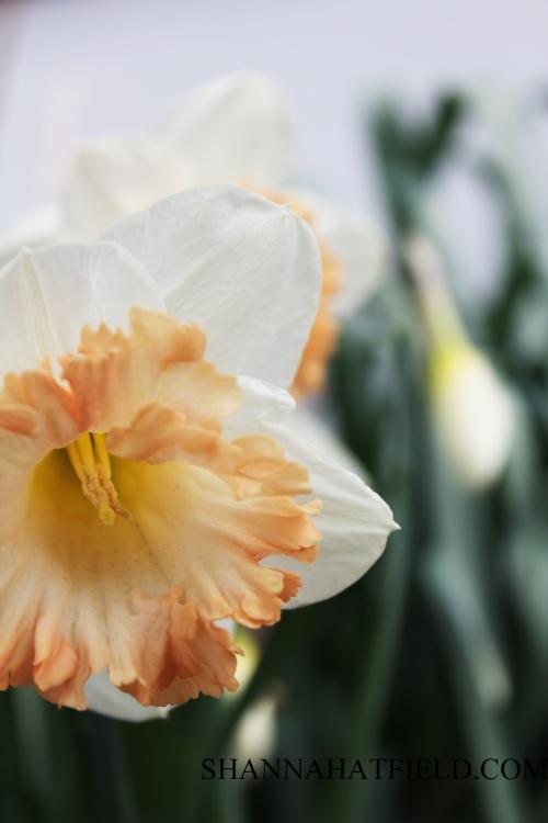 flower daffodil 2