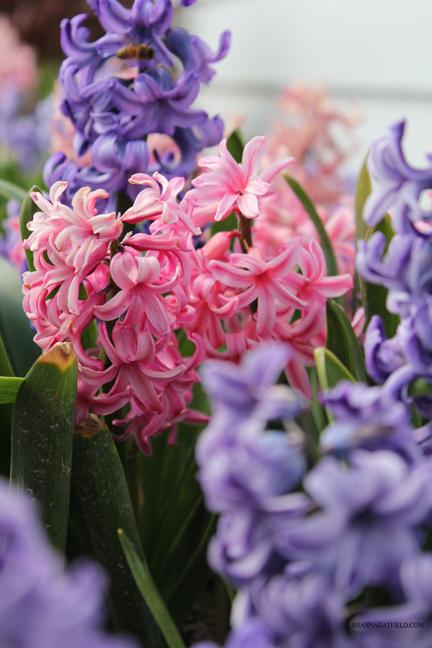 flower hyacinth bunch