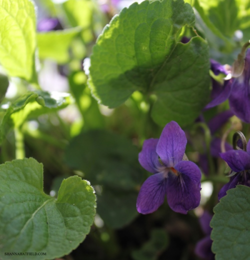 flowers violets 2