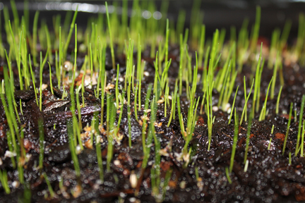 It took almost two weeks for little shoots of green to begin appearing. The keys to making the grass grow are water, warmth and light. Keep the soil moist , and if you don't have a warm place to sit the grass in natural light, you can use an electric light or  heat lamp.