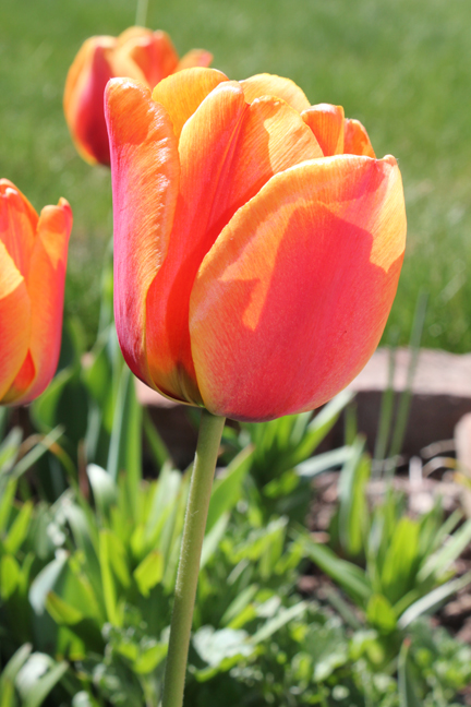 Tulip multi orange