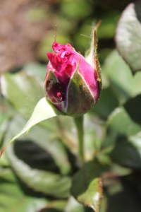Roses Hot pink Bud