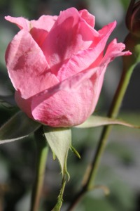 Roses Pale Pink Bud 2