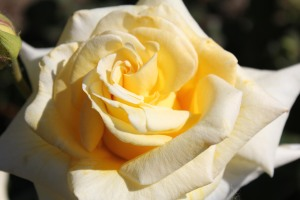 Roses Yellow bloom