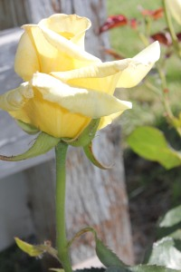 Roses Yellow Bud